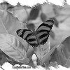 fr-bw-orange-tiger-bflyh-DSC00093