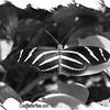 fr-bw-zebra-longwing-bfly-stlz-DSC09297