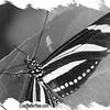 fr-bw-zebra-longwing-bflyh-DSC00009