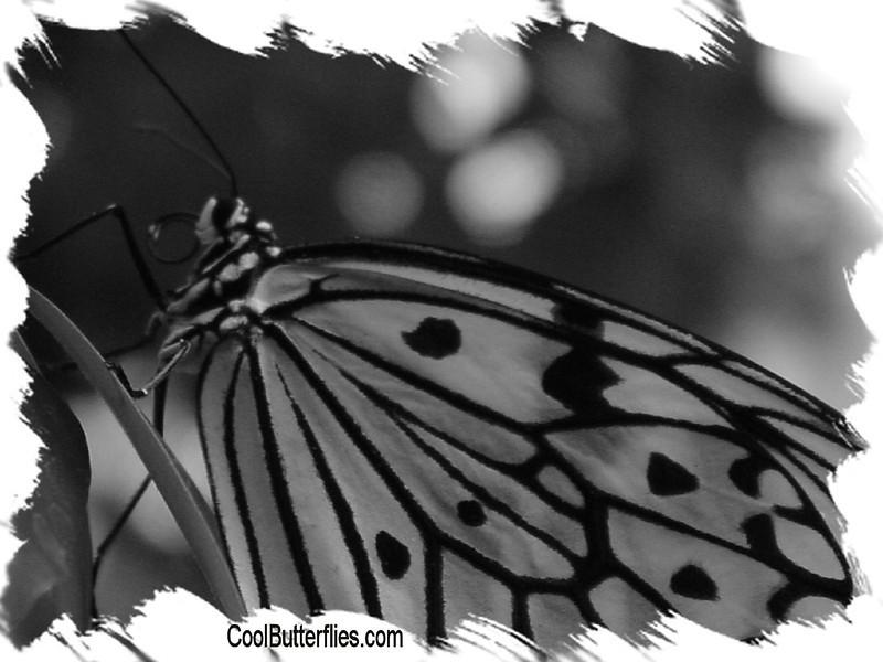 fr-bw-paperkite-bfly-stlz-DSC09370