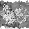 fr-bw-paperkite-bflyh-DSC00063