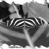 fr-bw-zebra-longwing-bflyh-DSC09620
