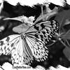 fr-bw-paperkite-bfly-stlz-DSC09274