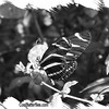 fr-bw-zebra-longwing-bfly-stlz-DSC09300