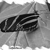fr-bw-zebra-longwing-bflyh-DSC09988