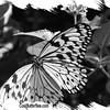 fr-bw-paperkite-bfly-stlz-DSC09276