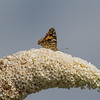 Painted Lady - Tidselsommerfugl