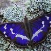 Purple Emperor - Iris
