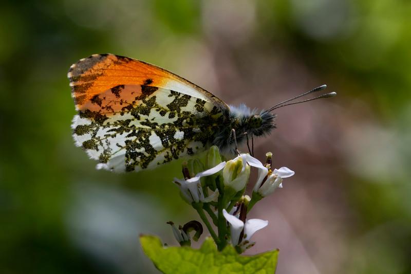 Aurora, han, Orange Tip (Anthocharis cardamines), Skivum Krat, Denmark