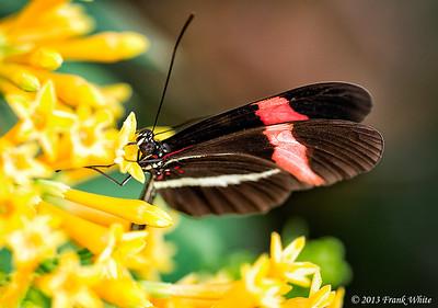 Rosinia Butterfly