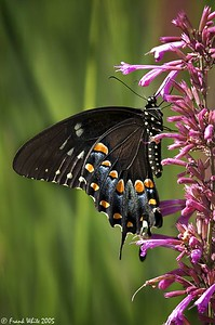 Spicebush Swallowtail butterfly #2