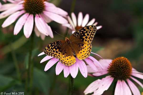 Fritillary on Cone Flowers