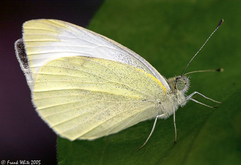 Veined White butterfly