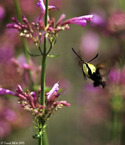 Hummingbird Moth #2