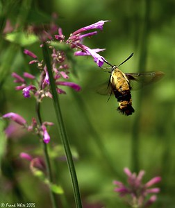 Hummingbird Moth #3