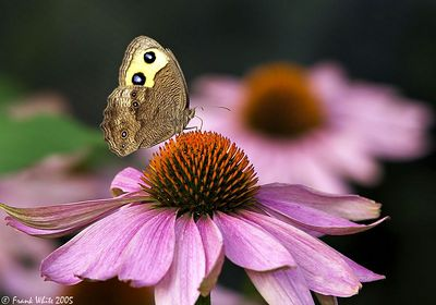 Large Wood Nymph on Cone Flowers