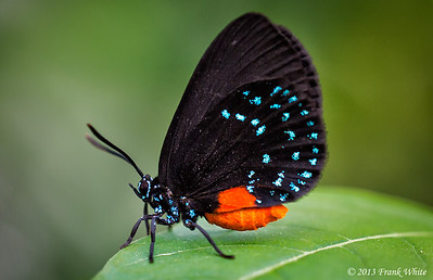 Atala Hairstreak Butterfly