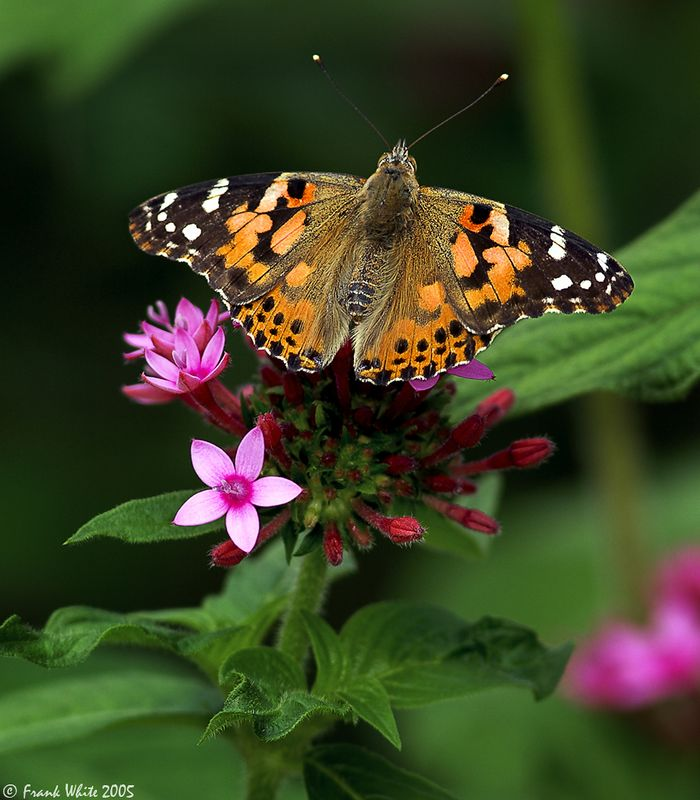 American Painted Lady butterfly #2