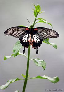 Scarlett Swallowtail