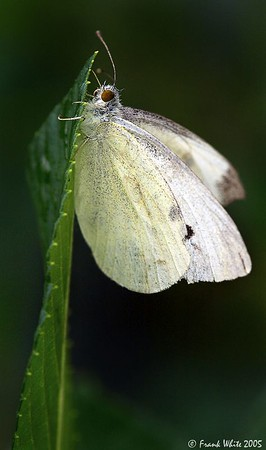 Cabbage White butterfly #1