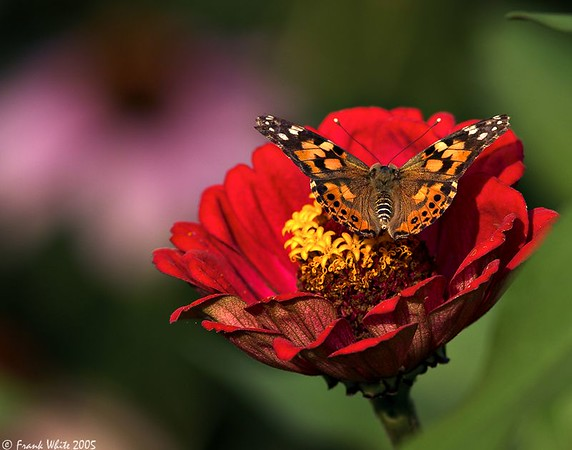 American Painted Lady on Zinnia