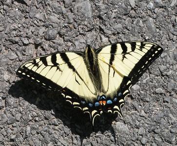 Canadian Tiger Swallowtail, South Colton, NY june 1, 2005b
