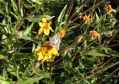 x Common Checkered-Skipper, Boyce Thompson Arboretum, Superior, AZ  nov 21, 2006  053