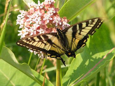 Canadian Tiger Swallowtail, ADK Loj Rd, Lake Placid, NY, july 7, 2006c