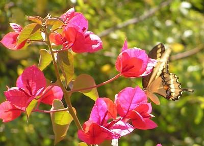 Giant Swallowtail, Phoenix, AZ, apr 14, 2005c