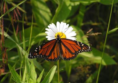 Monarch, ADK Loj Rd, Lake Placid, NY, july 7, 2006