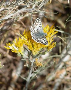 Common/White Checkered Skipper, San Pedro Riparian Area, AZ nov 25, 2006c