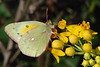 Orange Sulphur (Colias eurytheme). TX: Tarrant Co. (Duhons' Fort Worth yard), 13 November 2008.