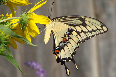 Giant Swallowtail (Papilio cresphontes). TX: Tarrant Co. (Duhons' Fort Worth yard), 29 September 2008.