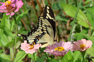 Giant Swallowtail (Papilio cresphontes). TX: Tarrant Co. (Duhons' Fort Worth yard), 12 July 2007.