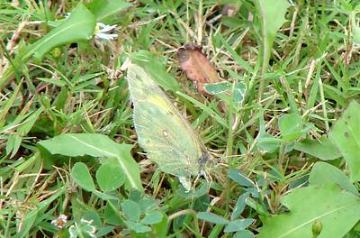 Orange Sulphur (Colias eurytheme). TX: Tarrant Co. (Duhons' Fort Worth yard), 17 October 2007.