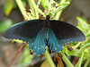 Pipevine Swallowtail (Battus philenor) male. TX: Tarrant Co. (Duhons' Fort Worth yard), 20 August 2008.
