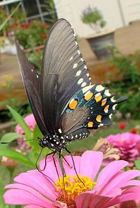 Pipevine Swallowtail (Battus philenor) female. TX: Tarrant Co. (Duhons' Fort Worth yard), 13 September 2007.