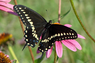 Black Swallowtail (Papilio polyxenes) male. TX: Tarrant Co. (Duhons' Fort Worth yard), 7 July 2007.