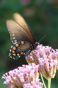 Pipevine Swallowtail (Battus philenor) female. TX: Tarrant Co. (Duhons' Fort Worth yard), 14 August 2008.