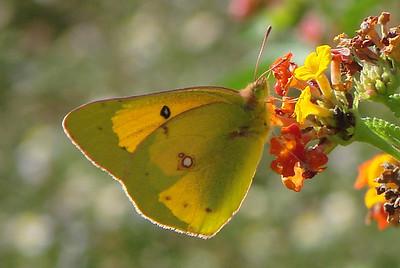 Orange Sulphur (Colias eurytheme). TX: Tarrant Co. (Duhons' Fort Worth yard), 10 October 2008.