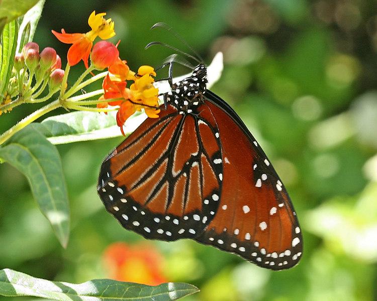 Butterflies of the world