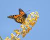 Monarc Butterfly