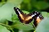 CRay-Butterflies-2357