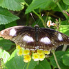 great-eggfly-male-bfly-stlz-DSC09283