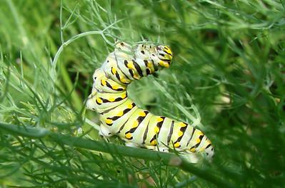 Black Swallowtail caterpillar on fennel.  TX: Tarrant Co. (Duhons' Fort Worth yard), 21 July 2007.