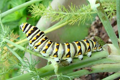 Black Swallowtail caterpillar on fennel.  TX: Tarrant Co. (Duhons' Fort Worth yard), 5 June 2007.