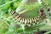 Black Swallowtail caterpillar on fennel.  TX: Tarrant Co. (Duhons' Fort Worth yard), 5 June 2007.