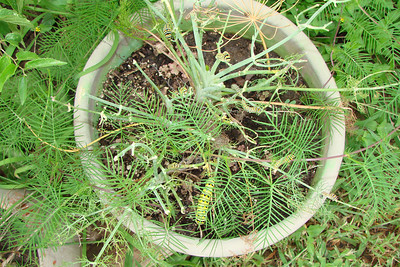 Many Black Swallowtail caterpillars on fennel. TX: Tarrant Co. (Duhons' Fort Worth yard), 28 July 2007.