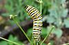 Black Swallowtail caterpillar on Italian Parsley.  TX: Tarrant Co. (Duhons' Fort Worth yard), 14 June 2007.