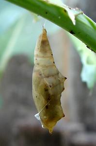 Cabbage White chrysalis on broccoli.  TX: Tarrant Co. (Duhons' Fort Worth Yard), 20 June 2007.